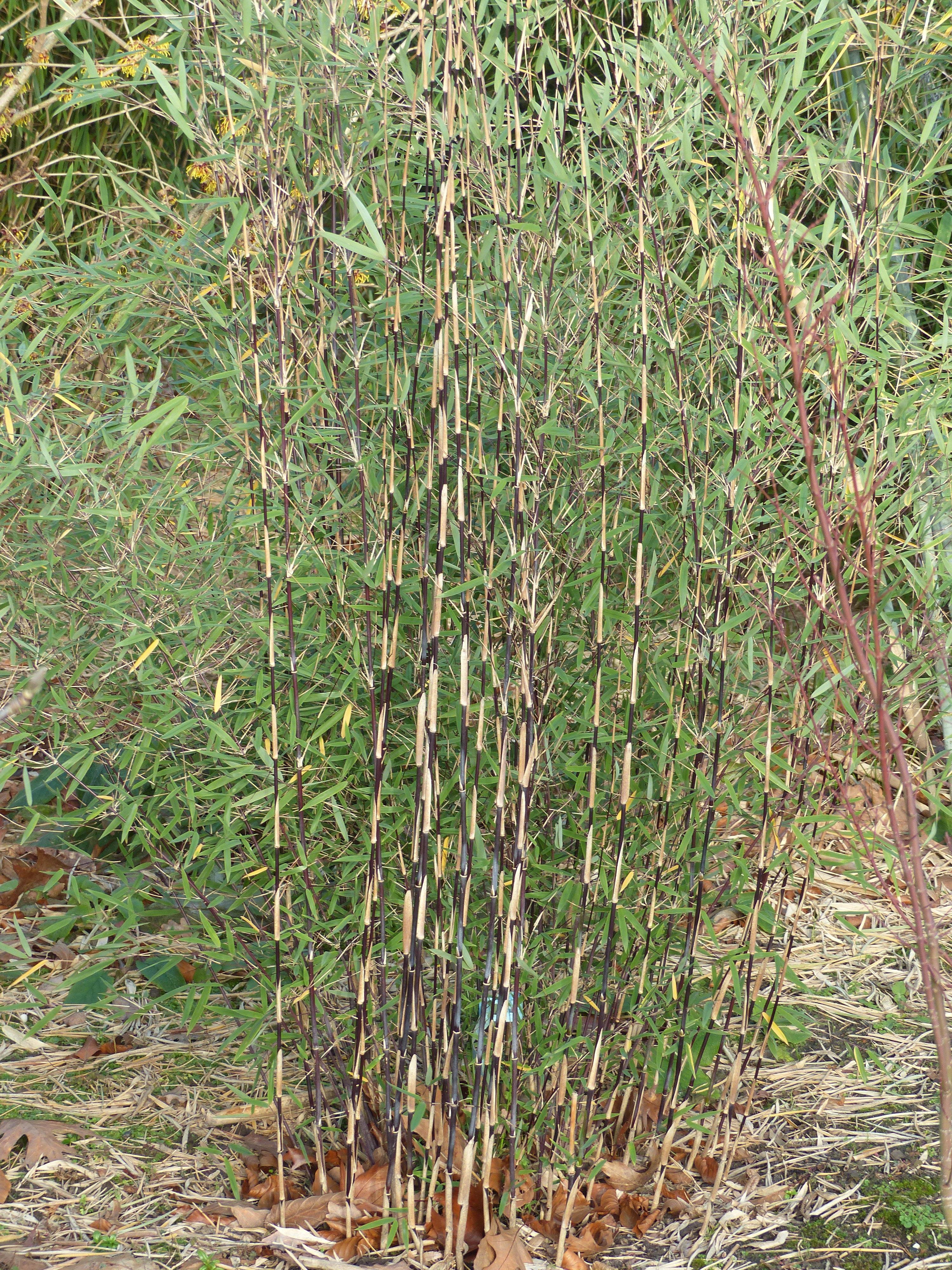 fargesia spec jiuzhaigou deep purple bambus des jahres. Black Bedroom Furniture Sets. Home Design Ideas