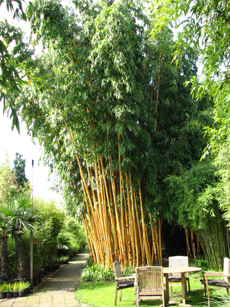 phyllostachys vivax aureocaulis bambus des jahres 2004. Black Bedroom Furniture Sets. Home Design Ideas