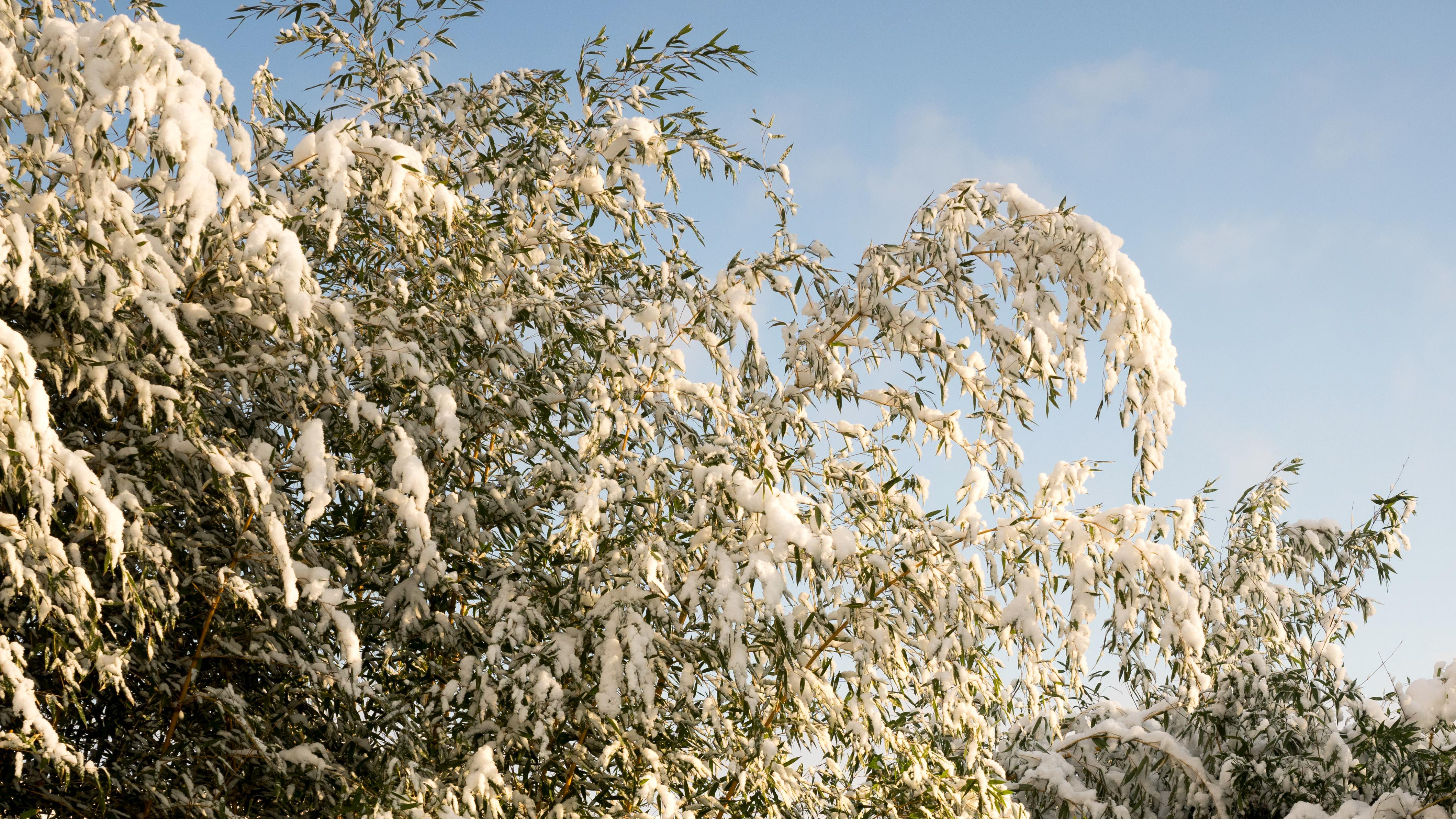 Winterhärte Bambus Deutschlandde